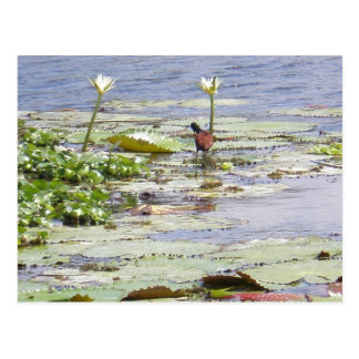 Aquatic Bird Postcard