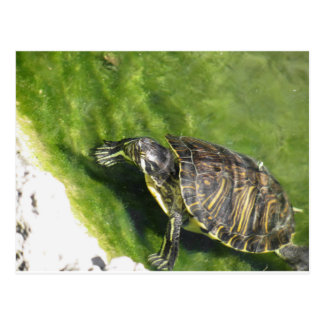 Aquatic turtle getting out of water postcard