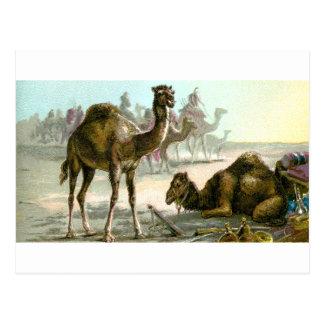 Arabian Camel Postcard