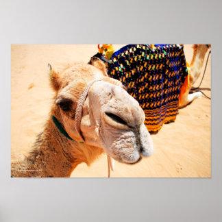 Arabian Dromedary Camel Poster