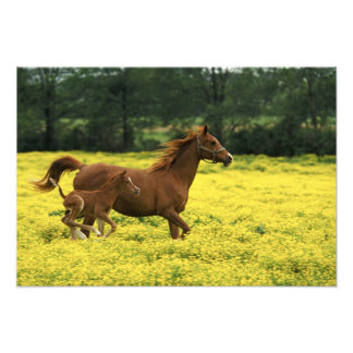 Arabian foal and mare running through photo print