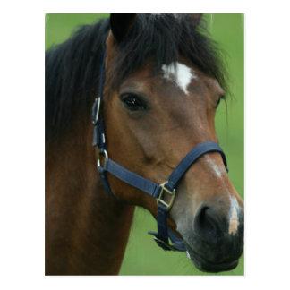 Arabian Horse Pictures Postcard