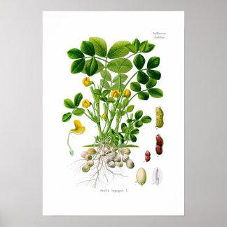 Arachis hypogaea (Peanut) Poster