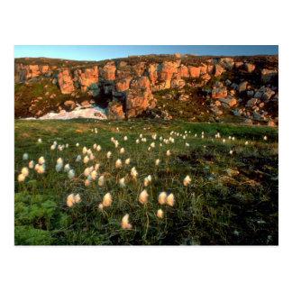 Arctic Cotton Grass on an arctic island, NWT, Cana Postcards