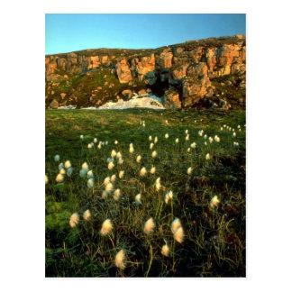Arctic Cotton Grass on an arctic island, NWT, Cana Post Cards
