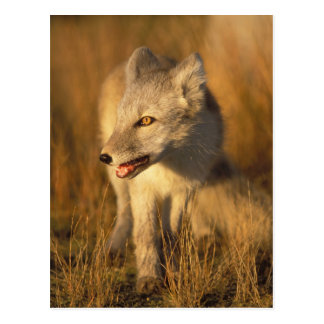 arctic fox, Alopex lagopus, coat changing from 3 Postcard