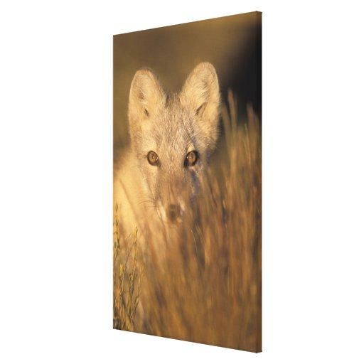 arctic fox, Alopex lagopus, on the 1002 coastal 2 Stretched Canvas Print
