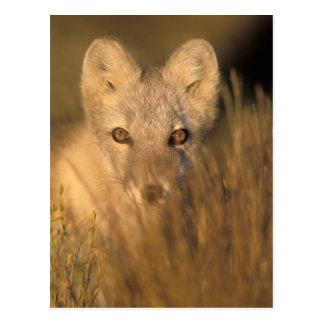 arctic fox, Alopex lagopus, on the 1002 coastal 2 Postcard