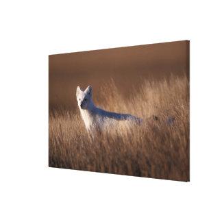 arctic fox Alopex lagopus on the 1002 coastal Stretched Canvas Print