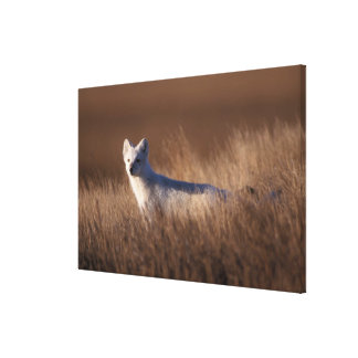 arctic fox, Alopex lagopus, on the 1002 coastal Stretched Canvas Print