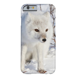 Arctic Fox , Churchill Wildlife Management Area Barely There iPhone 6 Case
