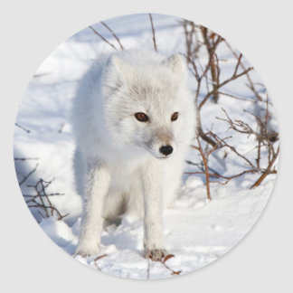 Arctic Fox , Churchill Wildlife Management Area Classic Round Sticker