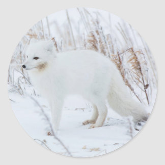 Arctic Fox Classic Round Sticker