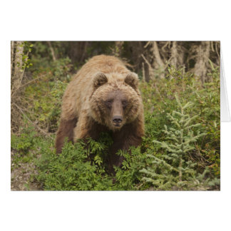 Arctic grizzly bear forages for soap berries 2 card