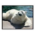 Arctic Polar Bear Postcard