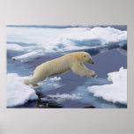 Arctic, Svalbard, Polar Bear extending and Posters