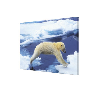 Arctic, Svalbard, Polar Bear hovering with all Canvas Print