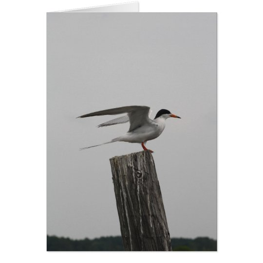 Arctic Tern Greeting Card