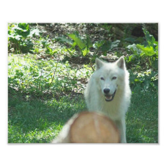 Arctic Wolf Photo