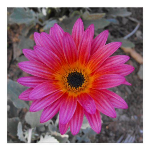 Arctotis - African Daisy Posters