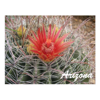 Arizona Barrel Cactus Blossom Postcard