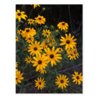 Arkansas Wildflower Black-Eyed Susans Postcard