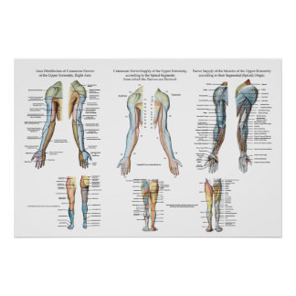 Arm Nerve Innervation of Upper Extremities Poster