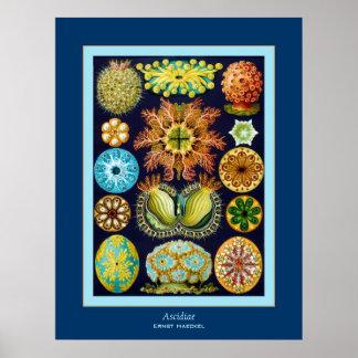 Ascidiae ~ Ernst Haeckel Poster