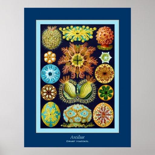 Ascidiae ~ Ernst Haeckel Posters