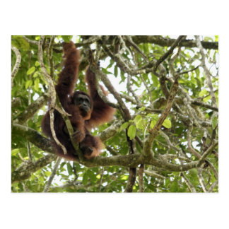 Asia, Borneo, Malaysia, Sarawak, Orangutan Postcard