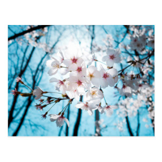 Asia Cherry Blossoms Postcard