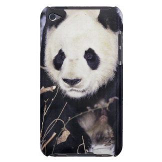 Asia, China, Sichuan Province. Giant Panda in 2 iPod Case-Mate Cases