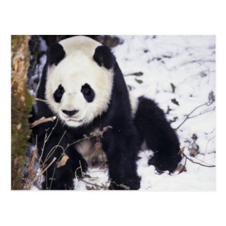 Asia, China, Sichuan Province. Giant Panda in 2 Postcard