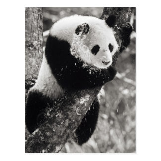 Asia, China, Sichuan Province. Giant Panda in Postcard