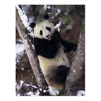 Asia, China, Sichuan Province. Giant Panda up a Postcard