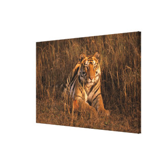 Asia, India, Bandhavgarh National Park. Tiger Gallery Wrapped Canvas