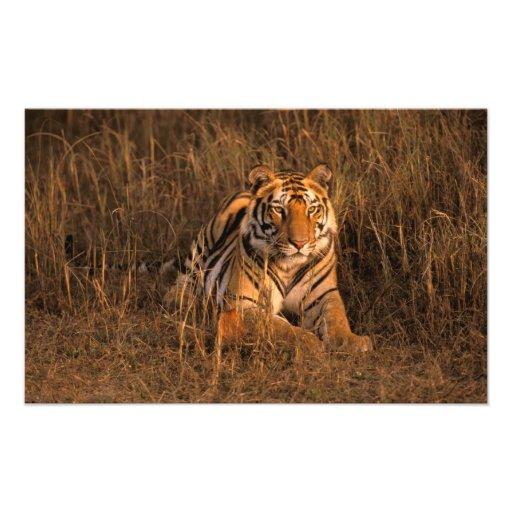 Asia, India, Bandhavgarh National Park. Tiger Photographic Print