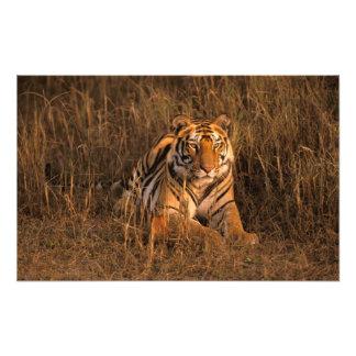 Asia, India, Bandhavgarh National Park. Tiger Photo Print