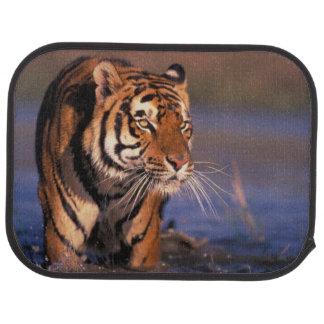 Asia, India, Bengal tiger Panthera tigris); Floor Mat