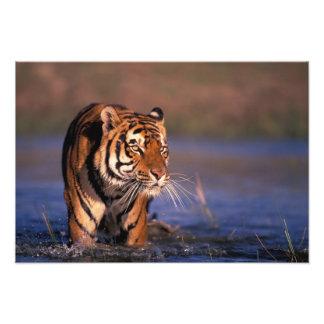 Asia, India, Bengal tiger Panthera tigris); Photo Print
