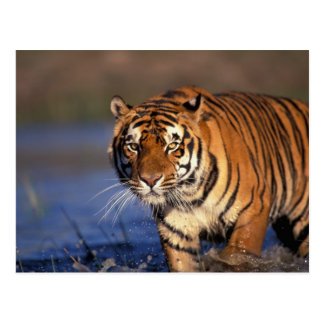 ASIA, India, Bengal Tiger Panthera tigris) Postcard