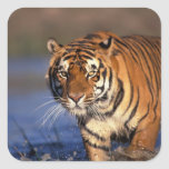 ASIA, India, Bengal Tiger Panthera tigris) Square Sticker