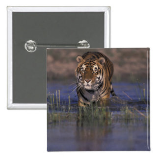 ASIA, India Tiger walking through the water 15 Cm Square Badge