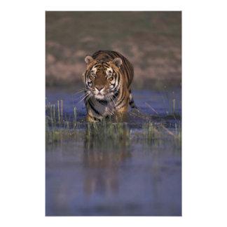 ASIA, India Tiger walking through the water Art Photo