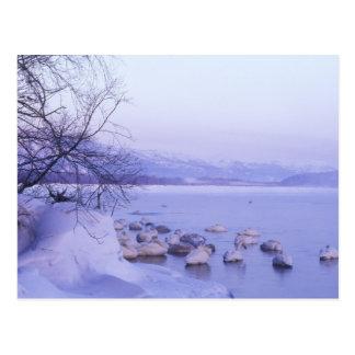 Asia, Japan, Hokkaido, Akan NP, Whopper Swans Postcard