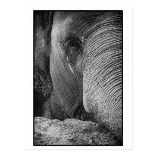 Asian Elephant Face Postcard