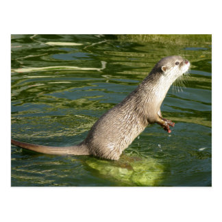 Asian short clawed otter postcard