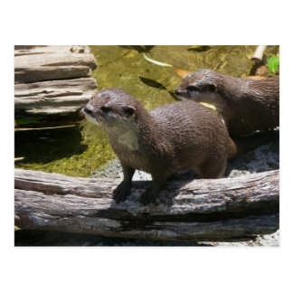 Asian Small-clawed Otters Postcard