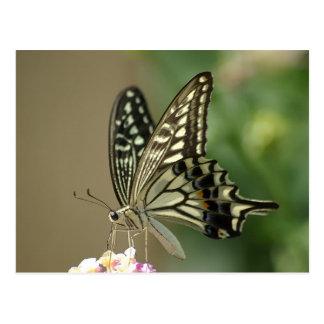 Asian Swallowtail Postcard