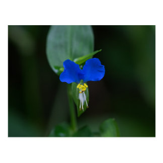 Asiatic Dayflower Blue Wildflower Postcard